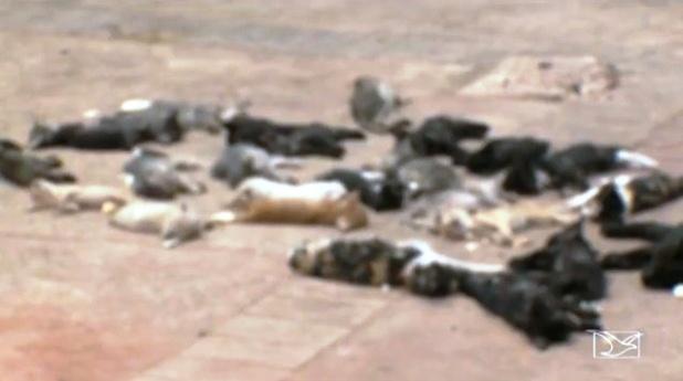 Gatos atacados por cães famintos, levados por u facínora da Areinha